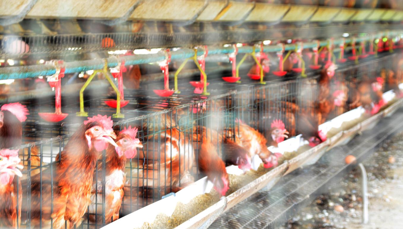Strategi untuk Memulai Usaha Ternak Ayam Potong